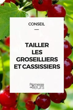 garden care vegetable Cut the currants and blackcurrants- Tailler les groseilliers et cassissiers Size of currants -