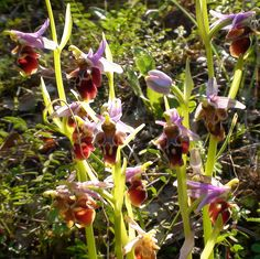 Ophrys scolopax (Woodcock Orchid) seen at Okçular 28 March 2011