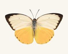 Butterfly Photo No. 7 - Catopsilia scylla - Orange Migrant Butterfly Print