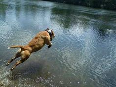 I had a pitbull named Kosmo. He would dive like this all day. He would out swim the labradors and steal their training decoys and play keep away. He was a good boy! :D