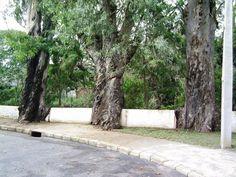 """árvore: eucalipto adulto com mais de 40 anos de idade - Salto, SP, Brasil. Particularmente eu chamava estas árvores de """"As 3 Marias"""". Hoje não estão mais lá, foram derrubadas para a construção de ponte nova."""