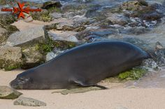 Hawaii Monk Seal photographed from Secret beach at the Ko Olina Resort, Waianae Coast, Oahu, Hawaii Hawaiian Monk Seal, Hawaiian Islands, Oahu Hawaii, Heaven On Earth, Seals, Playground, Coast, Vacation, Pictures