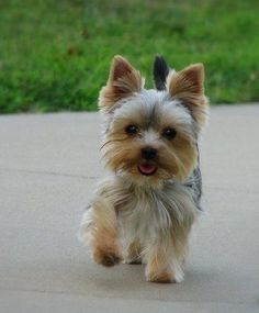 Yorkie puppy with a smile!