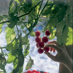 Winter Tomatoes - Organic Gardening - MOTHER EARTH NEWS. One thing to be considered. If the humidity is not high enough the tomato leaves will not do well. So humidity plays a large role in the out come.