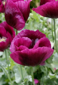 Beautiful, I'd love a big patch of poppies Papaver 'Lauren's Grape' Amazing Flowers, My Flower, Beautiful Flowers, Poppy Flowers, Beautiful Gorgeous, Grape Color, Bloom, Deco Floral, Annual Plants