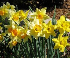 Our Favorite Daffodils from the Test Garden - Daffodils are Deer-Resistant