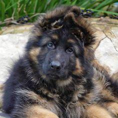 Jax the German shepherd puppy long coat 11 weeks old  Instagram @chewie.jax.the.gsds