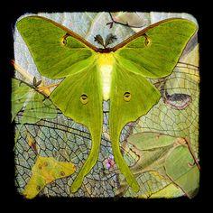 .Luna Moth