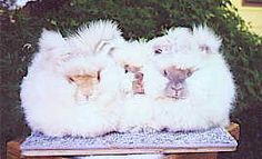 Grooming English Angoras by Betty Chu - includes directions for different ages and recommended tools for use during each stage Angora Rabbit, Rabbits, Farm Animals, Spin, Sheep, Fiber, Stage, English, Tools
