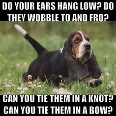 I sing this to my basset Tank all the time! Basset Puppies, Hound Puppies, Basset Hound Puppy, Dogs And Puppies, Doggies, Cute Funny Animals, Funny Dogs, Cute Dogs, Biking With Dog