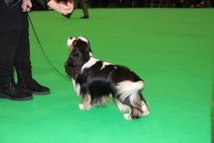 beautiful tri-color at UK Crufts 2018. https://www.facebook.com/photo.php?fbid=174602199831775&set=pcb.975610349274213&type=3&theater