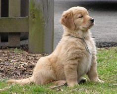 Golden Retriever Puppy...he looks so proud. lol