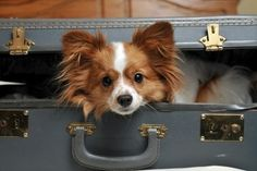 I wish I could take my papillon with me wherever I go!