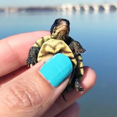baby turtle National Pet Day, Baby Turtles, Reptiles, Peonies, Rings For Men, Pets, Instagram, Men Rings, Animals And Pets