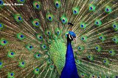 Beautiful Peacock Bird Personalized Poster animal Home Decor Wall Art USA made #Handmade #Realism