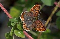 BugsAlive posted a photo:  Mont Lozère, Parc National des Cévennes, Lozère, France  Family : Lycaenidae  Subfamily : Lycaeninae  Species : Lycaena tityrus  This species is distributed throughout most of mainland Europe but absent in Scandinavia, a large part of Spain, and also the U.K. Continues eastwards to Armenia, Georgia, Russia, and Turkey. It is a small, very active, butterfly with a wingspan of 28-32mm. It is a sexually dimorphic species and the two sexes are very easy to tell apart…
