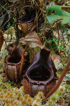 Lower pitchers of Nepenthes eymae photographed by Ch'ien C.Lee in the mountains of Central Sulawesi, Indonesia Unusual Flowers, Unusual Plants, Rare Plants, Exotic Plants, Beautiful Flowers, Bog Plants, Growing Plants, House Plants, Cactus