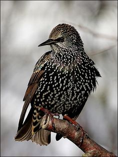 Starling. Came through in large flock in October, saw two days.