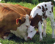 Imagem de http://cdn.agroevento.com/wp-content/uploads/2013/10/vaca-and-bezerro.jpg.