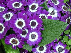 "Cineraria.   (""Best Flower's Care: CINERARIA, eenjarig."")"
