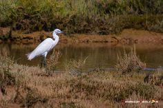 Dónde ver aves en el Algarve, Portugal - via Naturaleza y Viajes 16-01-2017 | El birdwatching, del que os hablé en este artículo que publicamos hace un par de meses, se basa en la observación y el estudio de las aves silvestres. Casi 300 especies de este grupo de vertebrados (entre rapaces, marinas, limícolas, anátidas, paseriformes y otras) se dan cita en este territorio repartidas a lo largo de todo el año. Foto: Garceta Portugal, Algarve, Bird Watching, Wild Birds, Vertebrates, Quote, Group, Studio, Naturaleza