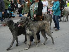 Saint Patrick's Day Parade in Salt Lake City, Utah 3/12/2016  Irish Wolf Hounds~