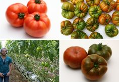 Canada: Good first results with new heat-resistant heirlooms Tomato Seeds, The Fresh, Horticulture, Vegetables, Tomato Seed, Garden Planning, Vegetable Recipes, Veggies, Lawn And Garden