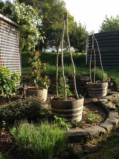 Tomato trellises out of willow branches cut from the garden. About two weeks after this pic was taken they sprouted ! Remove them and dry them in the sun or they will suck all of the nutrients from the tomatoes. The half wine barrels do the trick. I like the shape of the old stones.