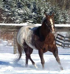 Appaloosa Horses for Sale | Maid\'s Midnite Delite, Appaloosa Stallion in Virginia