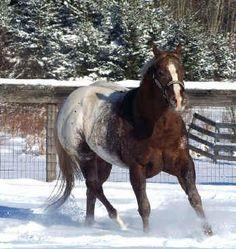 Appaloosa Horses for Sale | Maid\'s Midnite Delite, Appaloosa Stallion in Virginia