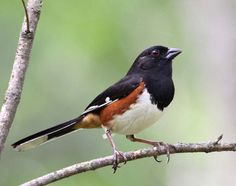 Eastern Towhee. They come every year around the first of April on our property to nest. (5BYC)