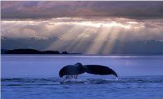 Whale tail at dusk, Alaska (photo: John Hyde)
