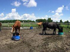 ✅ NYHEDSMAIL TIL HESTEFOLKET ∙ uge 22 2020 Fodring og vand på folden . Træning af ungheste . Dagens vilde deal . Islandske heste . Ugens populæreste. Vand, Animals, Animales, Animaux, Animal, Animais