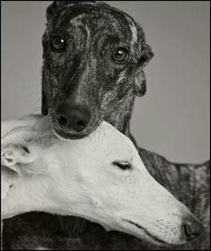 Gorgeous dogs...I'm hoping to adopt a retired greyhound soon.