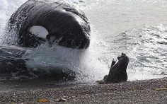A killer whale narrowly missed catching a young seal off the coast of Patagonia