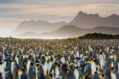 South Georgia Islands, Antarctica: King penguin paradise