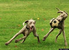 i want a dog like this! at least one who will play soccer with me!