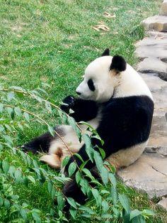 Pandas are so cute!!!