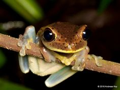 https://flic.kr/p/M1j4NZ | Map Tree Frog, Hypsiboas geographicus | from Ecuador: www.flickr.com/andreaskay/albums