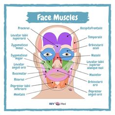 Face Muscles Anatomy, Muscles Of Facial Expression, Muscles Of The Face, Muscle Anatomy, Facial Muscles, Studyblr, Wellness Tips, Health And Wellness, Dental Anatomy