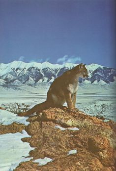 mountain lion larger than life