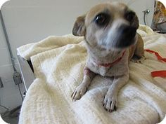 PENNY - Kennel 43 - URGENT - Corona Animal Shelter in Corona, California - ADOPT OR FOSTER - Female Chihuahua Mix
