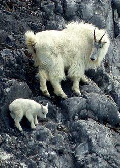 Mountain goat & cub-Glacier NP