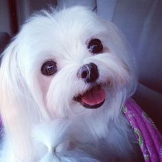 @MiaLilyElla&Brooke on Instagram Lily Kate, Maltese, adopted from www.stfbr.org #maltese #smile #puppy