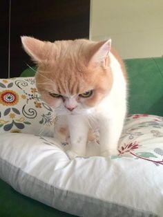 岡田モフリシャスと猫の小雪(@moflicious)さん   Twitterの画像/動画