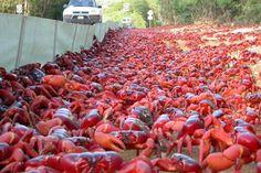 ¡La migración del cangrejo!  Una vez al año, alrededor de 60 millones de cangrejos rojos migran al mar cuando llegan las lluvias a la Isla de Navidad, Australia, para su ritual de apareamiento. Durante el resto del año permanecen en sus madrigueras donde se mantienen húmedos.  Para conocer más acerca de esta migración mira el siguiente video: http://youtu.be/SLoXDFDeD9E