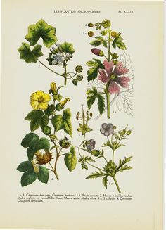 1929 Antique botanical print Geranium mallow by ModernAntiquary, $16.00