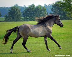 Marsh Tacky Colonial Spanish Horse