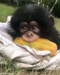 Cute Animal Videos, Cute Animal Pictures, Cute Little Animals, Cute Funny Animals, Funny Monkeys, Beautiful Creatures, Animals Beautiful, Regard Animal, Baby Chimpanzee