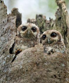 The Bare-legged Owl or Cuban Screech Owls  Gymnoglaux lawrencii  at a nest on a tree photo
